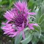 Centaurea_montana_joyce_