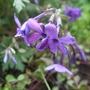 Phlox_stolonifera_fran_s_purple_