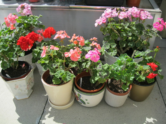 Overwintered Pelargoniums..