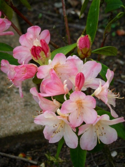 Rhododendron ...  Pink Pearl  ...