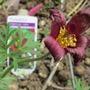 Red pasque flower (Pulsatilla vulgaris (Pasque flower))