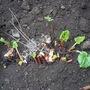 Rhubarb_150415_3_