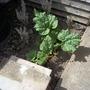 Rhubarb_150501
