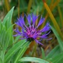 Centaurea Montana.. (Centaurea macrocephala (Great Golden Knapweed))