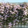 Lovely scented clematis