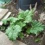 Rhubarb_150508_1_
