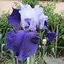 Iris - Two tone blue (Iris germanica (Orris))