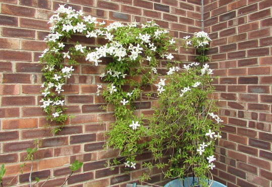 Clematis (was wrongly labelled.)