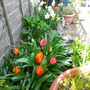 Tulips and others