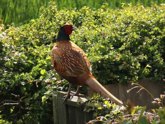 Attractive Visitor in Garden This Morning _ 2