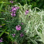grasses and Erysium Bowles Mauve