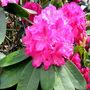 rhododendron Cynthia