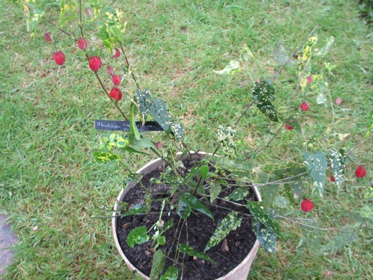 Abutilion megapotamicum variegata (Abutilon megapotamicum variegata)