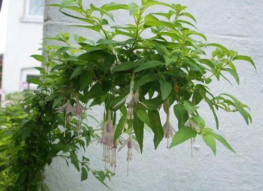 Fuchsia magellanica alba (Fuchsia magellanica alba)