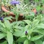 Centaurea_montana_2_