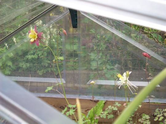 Aquilegia seedlings cold frame (Aquilegia)