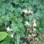 Aquilegia grown from seed last year (Aquilegia)