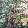 Frementodendron_californian_glory