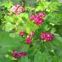 Paul's scarlet hawthorn (Crataegus laevigata 'Paul's Scarlet') ((Crataegus laevigata 'Paul's Scarlet')