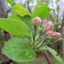 Buds on the deer pruned apple tree...