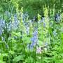 Bluebells and Fringecups (Tellima grandiflora (Fringe cups))