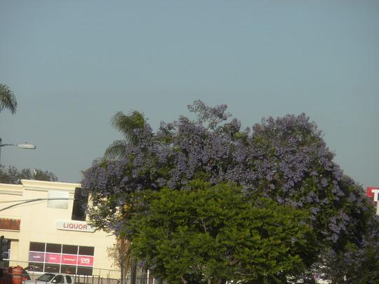 Jacaranda mimosifolia -  Jacaranda Trees Flowering (Jacaranda mimosifolia -  Jacaranda Tree)