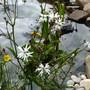 Lychnis flos-cuculi (Ragged robin)