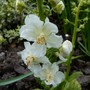 Verbascum 'Flush of White' (Verbascum phoeniceum (Purple Mullein))