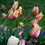 Tulips_in_the_breeze