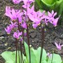 dodecatheon