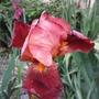 Iris 'Action Front' (Iris germanica (Orris))