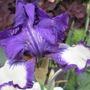 Bearded Iris 'Stepping Out' (Iris germanica (Orris))