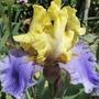 Iris 'Edith Wolford' (Iris germanica (Orris))