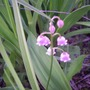 Pink Lily of the Valley (Convallaria majalis)