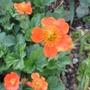 Geum Borisii 'Queen of Orange' (Geum borisii)