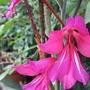 Gladiolus communis  byzantinus (Gladiolus)