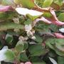 Ornamental Kiwi flowers (Actinidia kolomikta (Actinidia))