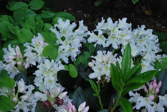 Rhododendron Cunningham White.. (Rhododendron Cunningham's White.)