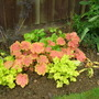 Colourful Heuchera