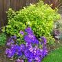 Purple and lime (Pericallis Senetti Deep Blue)