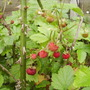 Alpine Strawberry fruits 07.08 (Fragaria vesca)
