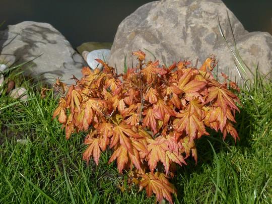 Acer 'Orange Dream' at the pondside