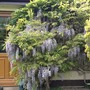 Our wisteria by the kitchen door.