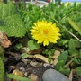Flower on Mesembryanthemum 'Basutoland' (Mesembryanthemum crystallinum (Buzotu))