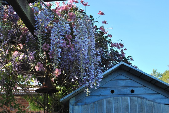 Wisteria and Clematis Broughton Star... (Wisteria sinensis (Chinese wisteria))