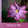 clematis pink champagne