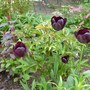 Black Knight Tulips