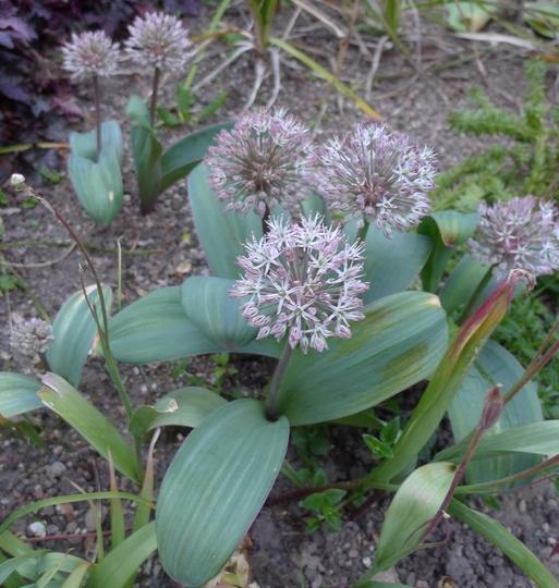 Allium karataviense - 2015 (Allium karataviense)