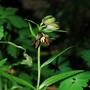 Fritillaria camchatcensis (Fritillaria camschatcensis (Kamchatka Fritillary))