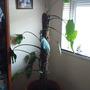 My cheeseplant 3